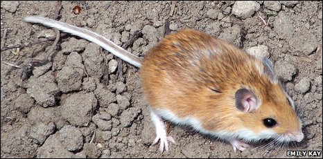 DEER MOUSE vs. HOUSE MOUSE | San Diego Pest Control